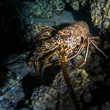 Abama Cave Long Spined Lobster