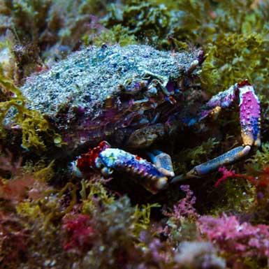 Los Abrigos Dive Site Crab