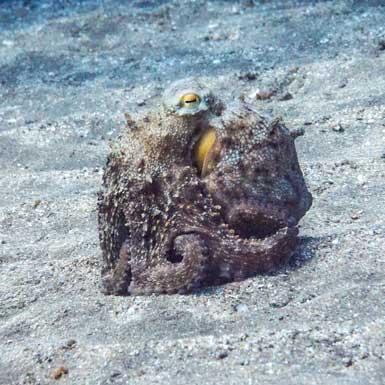 Los Abrigos Dive Site Octopus