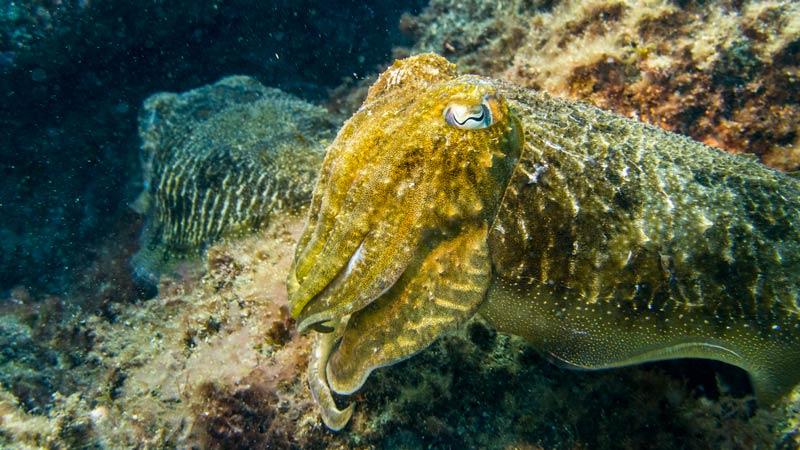 Montana Amarilla Cuttlefish