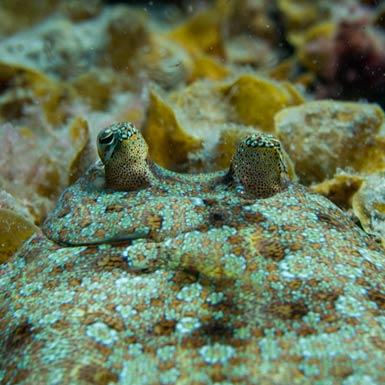 Montana Amarilla Flounder